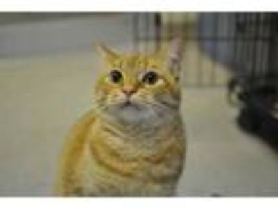 Adopt Ceasar a Orange or Red Domestic Shorthair / Domestic Shorthair / Mixed cat