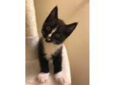 Adopt Cookie KITTEN SHOWER ATTENDEE a All Black Domestic Shorthair / Domestic