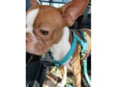 Adopt Alex a Red/Golden/Orange/Chestnut - with White Boston Terrier / Mixed dog