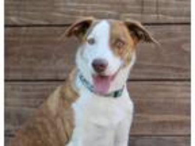 Adopt Camila a Brindle - with White Australian Shepherd / Collie / Mixed dog in