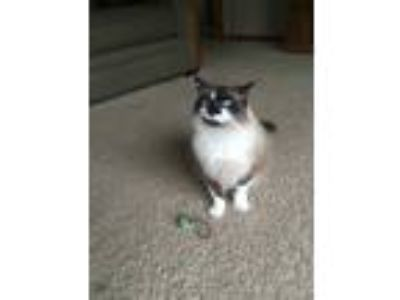 Adopt Prankin a Brown or Chocolate (Mostly) Ragdoll cat in Monroe City