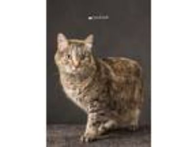 Adopt Kitterbug a Brown Tabby Domestic Shorthair (short coat) cat in Sioux