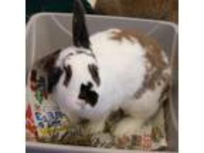 Adopt Smudge a White Rex / Other/Unknown / Mixed rabbit in Madison