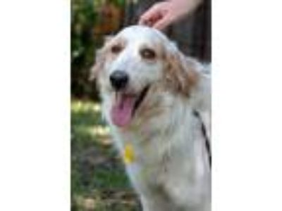 Adopt Cisero a White - with Red, Golden, Orange or Chestnut Great Pyrenees /
