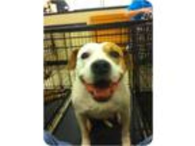 Adopt Daisy a White - with Tan, Yellow or Fawn American Pit Bull Terrier / Mixed