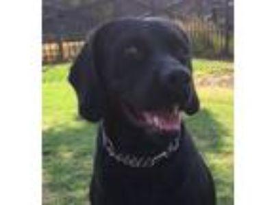 Adopt Presley a Labrador Retriever, Boxer
