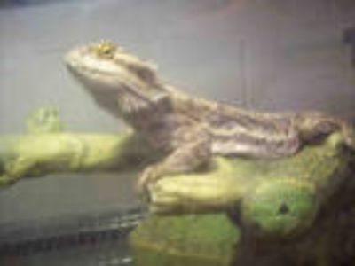 Adopt a Lizard / Mixed reptile, amphibian, and/or fish in Upper Marlboro