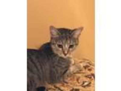 Adopt Tia Maria a Tiger Striped Domestic Shorthair (short coat) cat in Sarasota