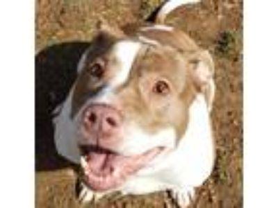 Adopt Pancakes a Pit Bull Terrier / Mixed Breed (Medium) dog in Lynchburg