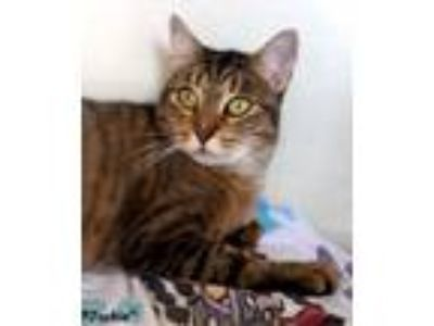 Adopt Jackie a Tiger Striped Domestic Shorthair (short coat) cat in Key Largo