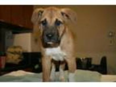 Adopt BOOTS a Anatolian Shepherd, Mixed Breed