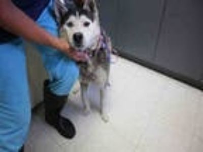Adopt GABE a Black - with White Husky / Mixed dog in Redlands, CA (25884640)