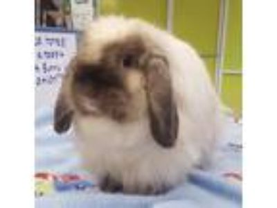 Adopt Jinxy a Siamese American Fuzzy Lop / Mixed (medium coat) rabbit in Los