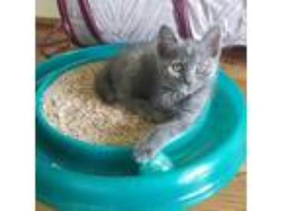 Adopt Josie a Domestic Shorthair cat in Youngsville, NC (25891460)