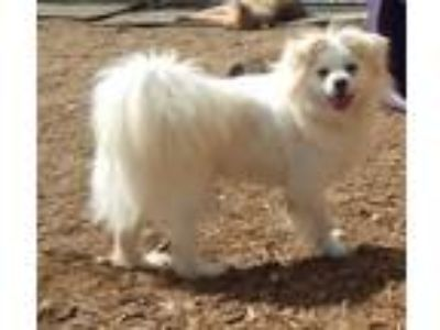 Adopt Ace a White Tibetan Spaniel / Mixed dog in Grovertown, IN (25636047)