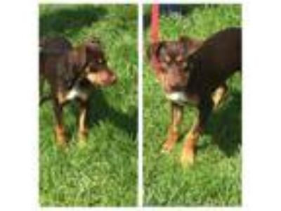 Adopt DOT a Doberman Pinscher