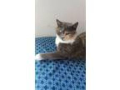 Adopt Candace a Domestic Short Hair