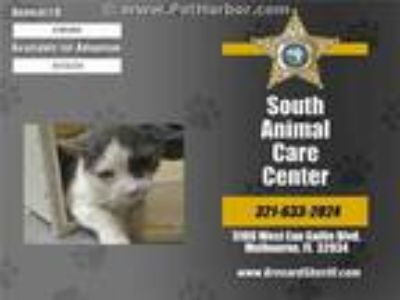 Adopt GYPSY a Gray or Blue (Mostly) Domestic Shorthair / Mixed (short coat) cat