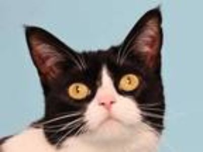 Adopt Domino a White Domestic Shorthair / Domestic Shorthair / Mixed cat in