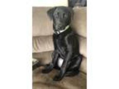Adopt Jett a Black Labrador Retriever / Mixed dog in Tampa, FL (25365768)