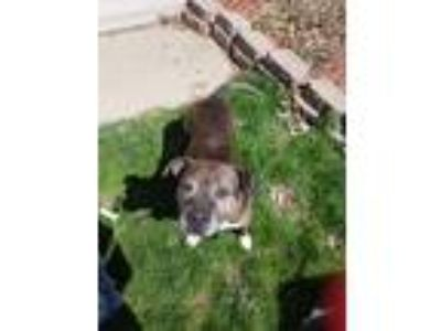 Adopt Bella jean a Brindle - with White American Pit Bull Terrier / Mixed dog in