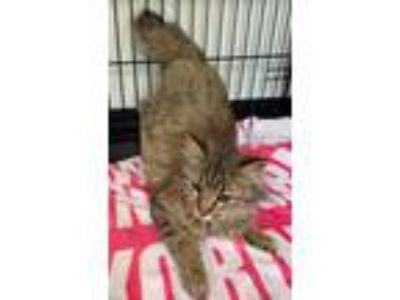 Adopt Angelica a Gray, Blue or Silver Tabby Domestic Longhair (long coat) cat in