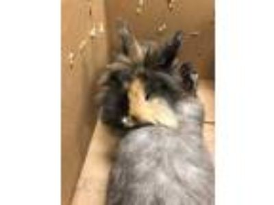 Adopt Elsa a Chocolate Other/Unknown / Mixed rabbit in Cedar Hill, TX (25330250)
