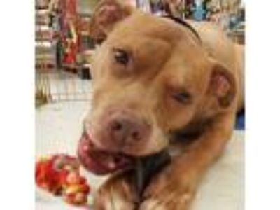 Adopt Jack a Pit Bull Terrier, Boxer