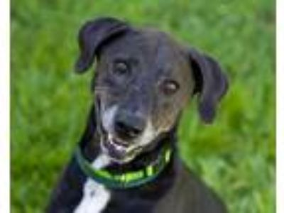Adopt CASH a Black - with White Labrador Retriever / Mixed dog in St.
