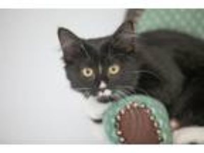 Adopt Emma a Black (Mostly) Domestic Mediumhair / Mixed cat in St.