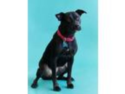 Adopt Dahlia a Black Labrador Retriever / Shepherd (Unknown Type) / Mixed dog in