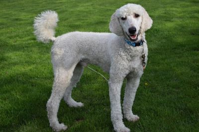 AKC Standard Poodle Pup In Michigan