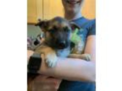 Adopt German Shepherd puppies a German Shepherd Dog