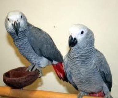 **Congo African Grey Parrots**