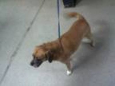 Adopt ROSCO a Brown/Chocolate - with White Beagle / Pug / Mixed dog in