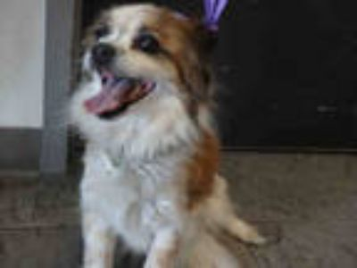 Adopt BADGER a White - with Brown or Chocolate Papillon / Mixed dog in Los