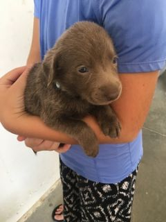 Labrador Retriever PUPPY FOR SALE ADN-88782 - AKC registered Silver Labrador puppies