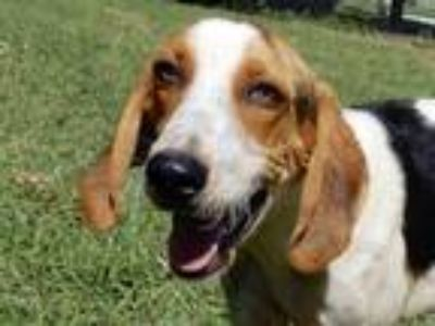 Adopt Desi a Tricolor (Tan/Brown & Black & White) Harrier / Mixed dog in Rogers
