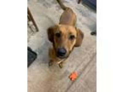 Adopt DOLLY a Labrador Retriever, Hound