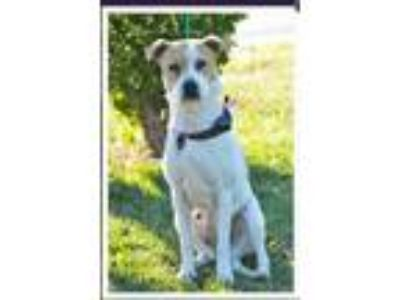 Adopt Rosie a Brown/Chocolate - with White Labrador Retriever / American Pit