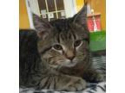 Adopt Harvy a Brown Tabby Domestic Shorthair (short coat) cat in Sauk Rapids