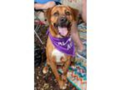 Adopt KennyRogers a Hound, Retriever
