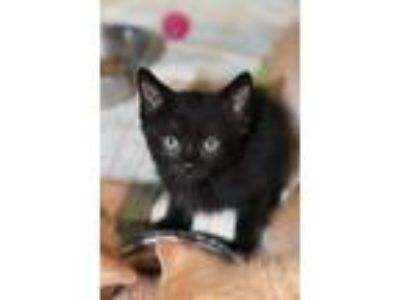 Adopt Boswell a Domestic Short Hair