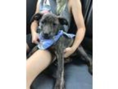 Adopt Winnie a Brindle Labrador Retriever / Boxer / Mixed dog in Harrisburg