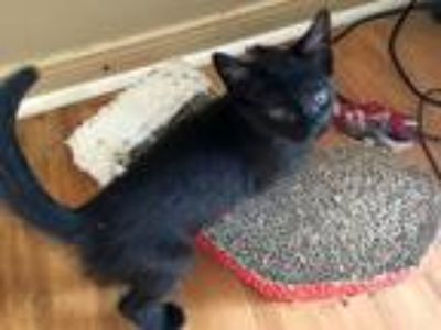 Adopt Don a All Black Domestic Shorthair (short coat) cat in College Station