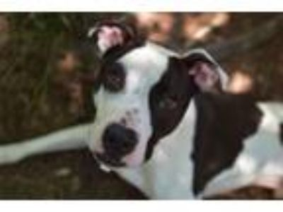 Adopt Jeh Jeh a Pit Bull Terrier