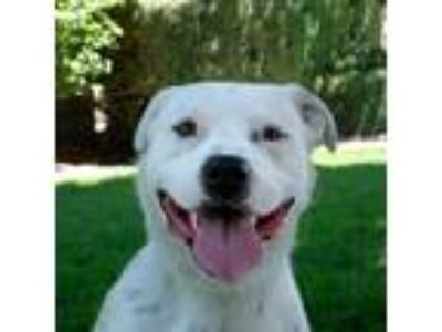 Adopt Ollie a White - with Brown or Chocolate Pit Bull Terrier / Mixed Breed