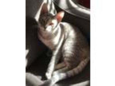 Adopt Cortana a Gray, Blue or Silver Tabby American Shorthair / Mixed cat in