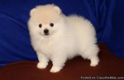 Humorous Pomeranian Puppies for sale