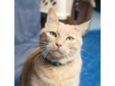 Adopt Simba a Orange or Red Tabby Domestic Shorthair (short coat) cat in